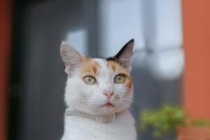 Αποπαρασίτωση γάτας