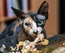 γάτα ψαροκόκκαλα